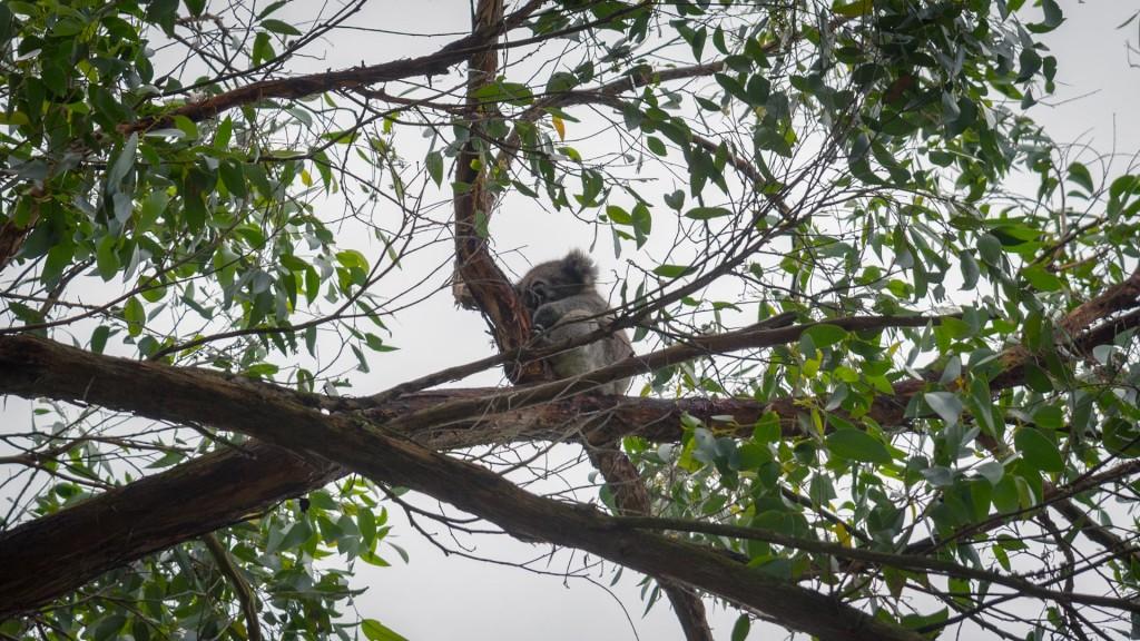 Koala Bär